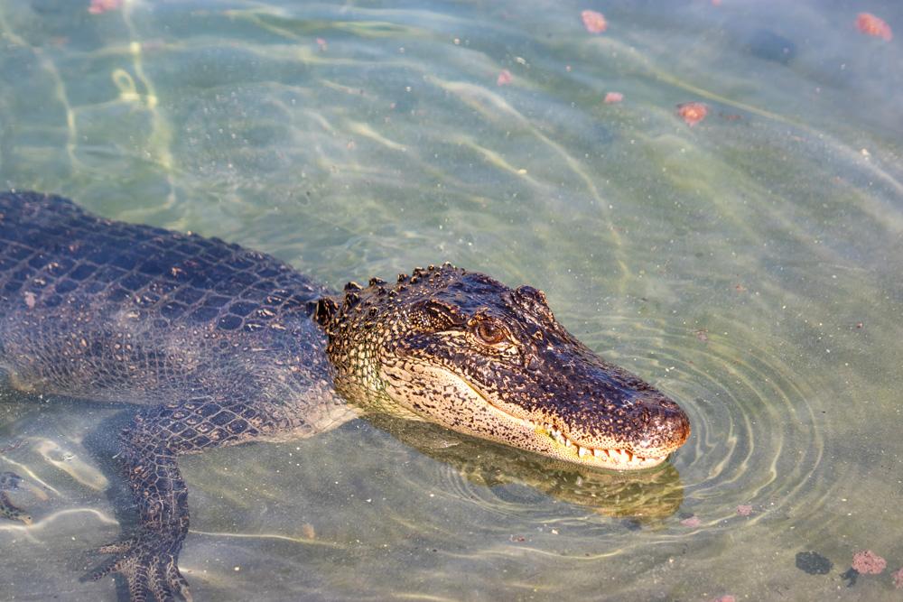 Alligator - Gator Gulch